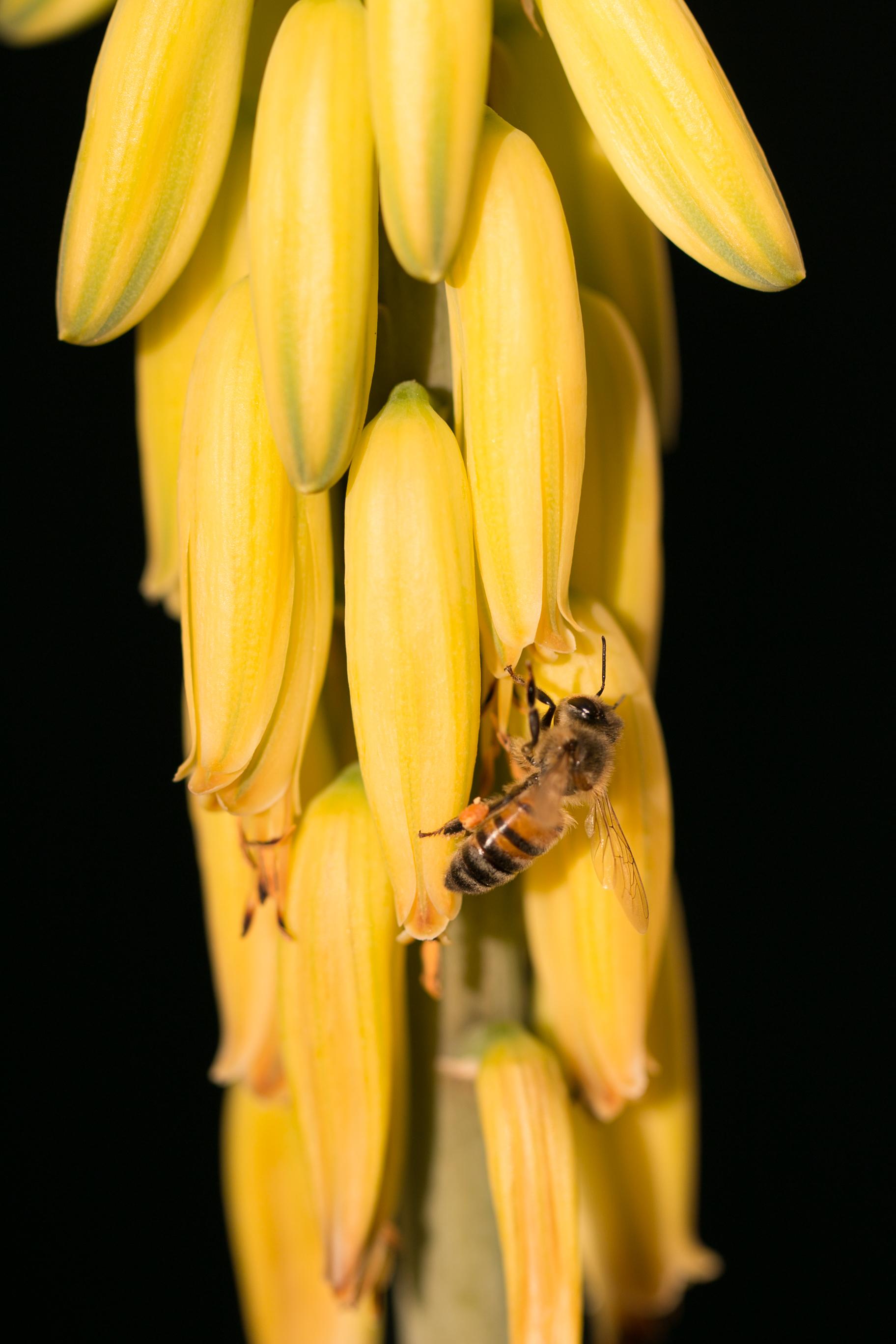 Fleur d'aloe et l'abeille en visite