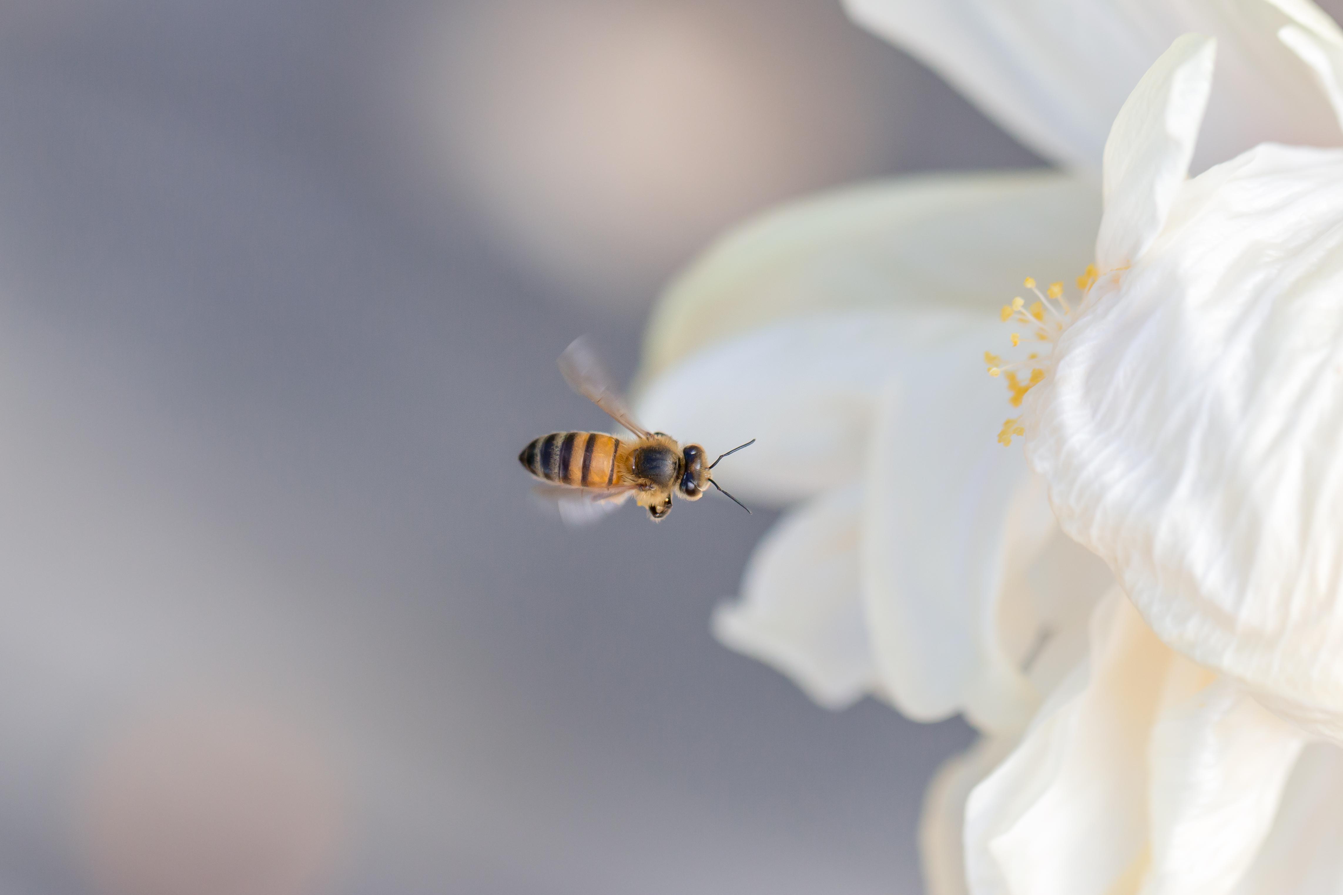A dos d'abeille