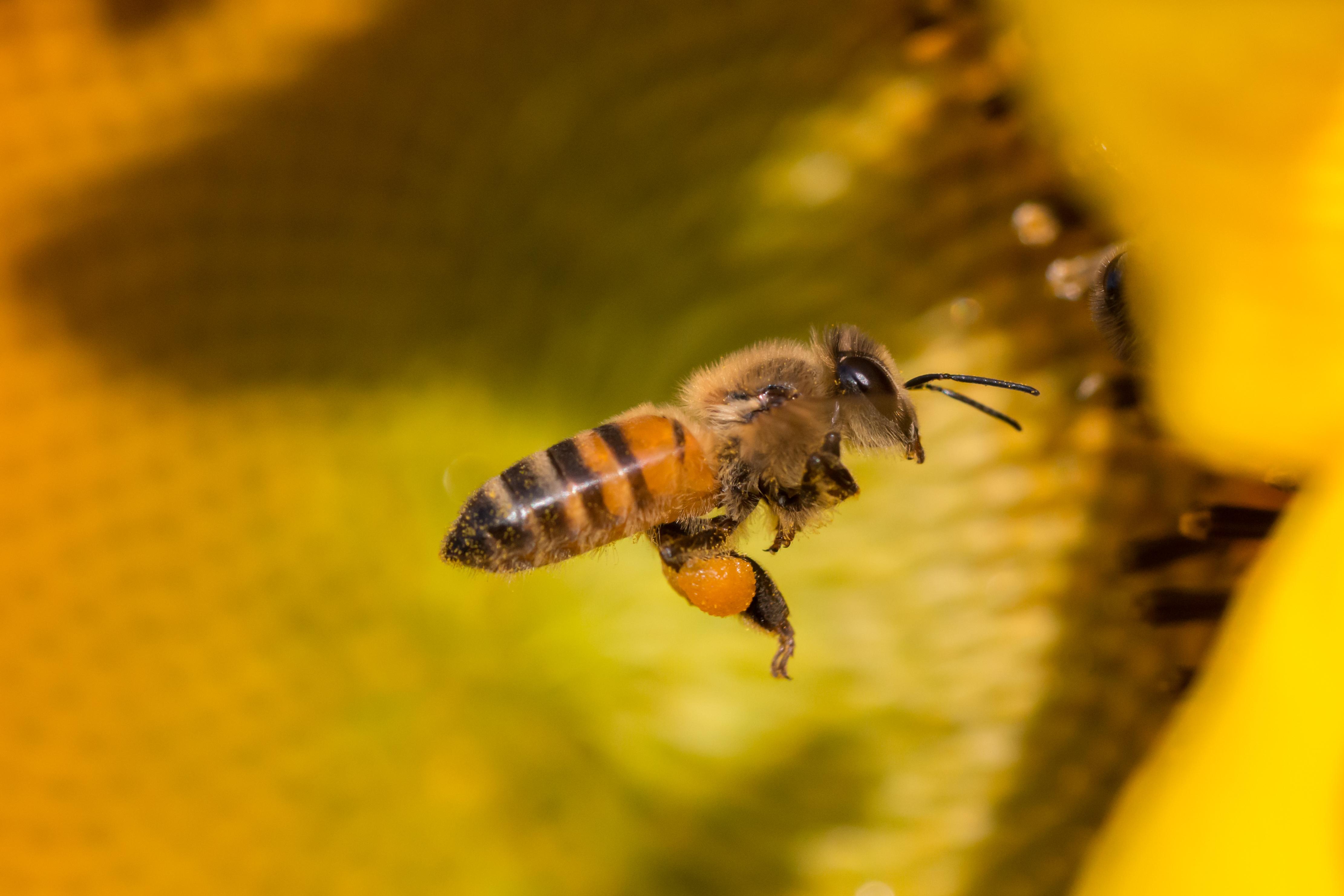 Une abeille avec du pollen plein les pattes