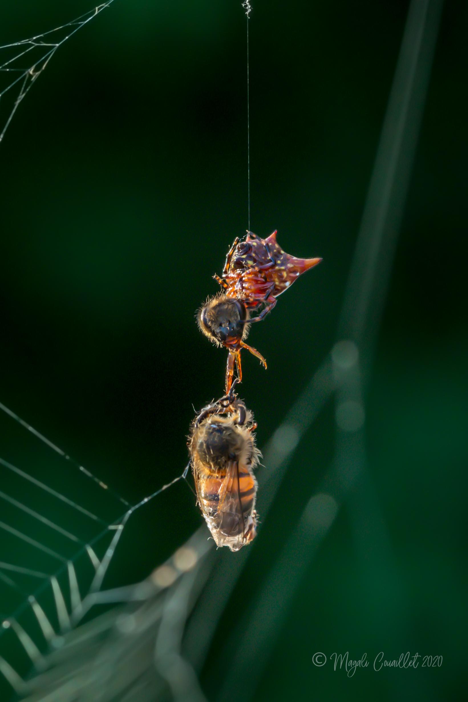 Araignée ayant décapité une abeille