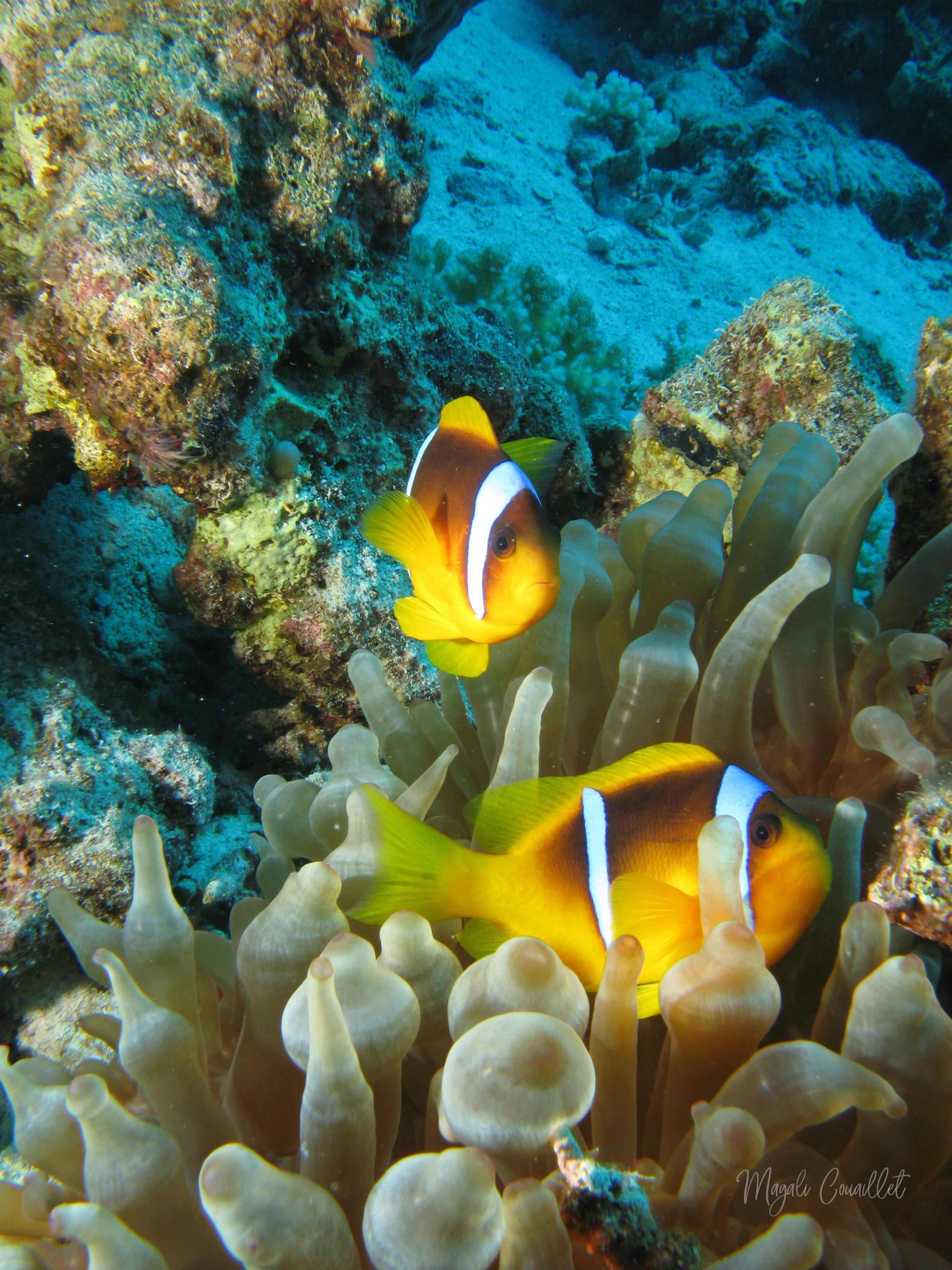 Poissons-clowns - Clownfish