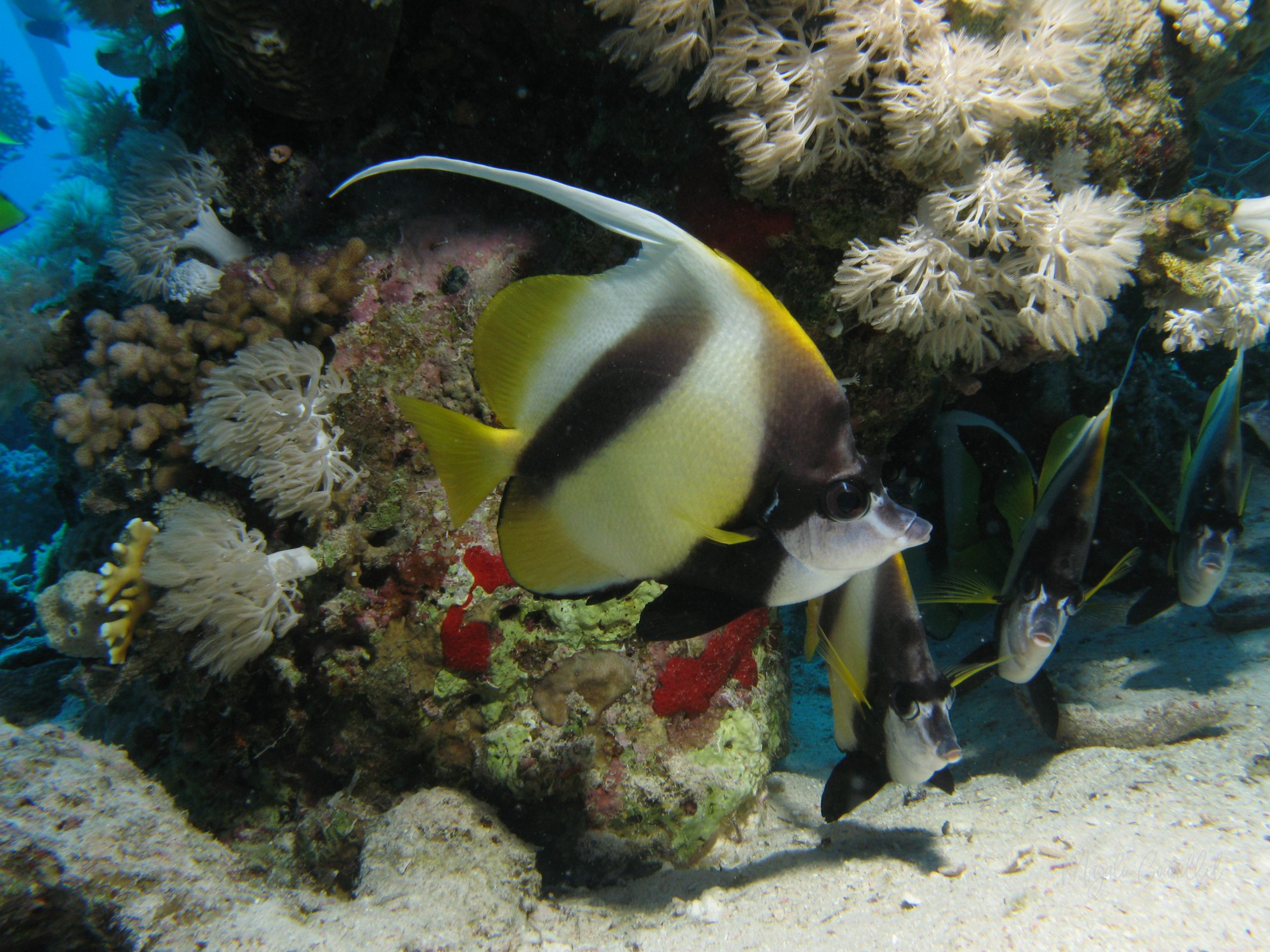 Poissons-cochers - Bannerfish