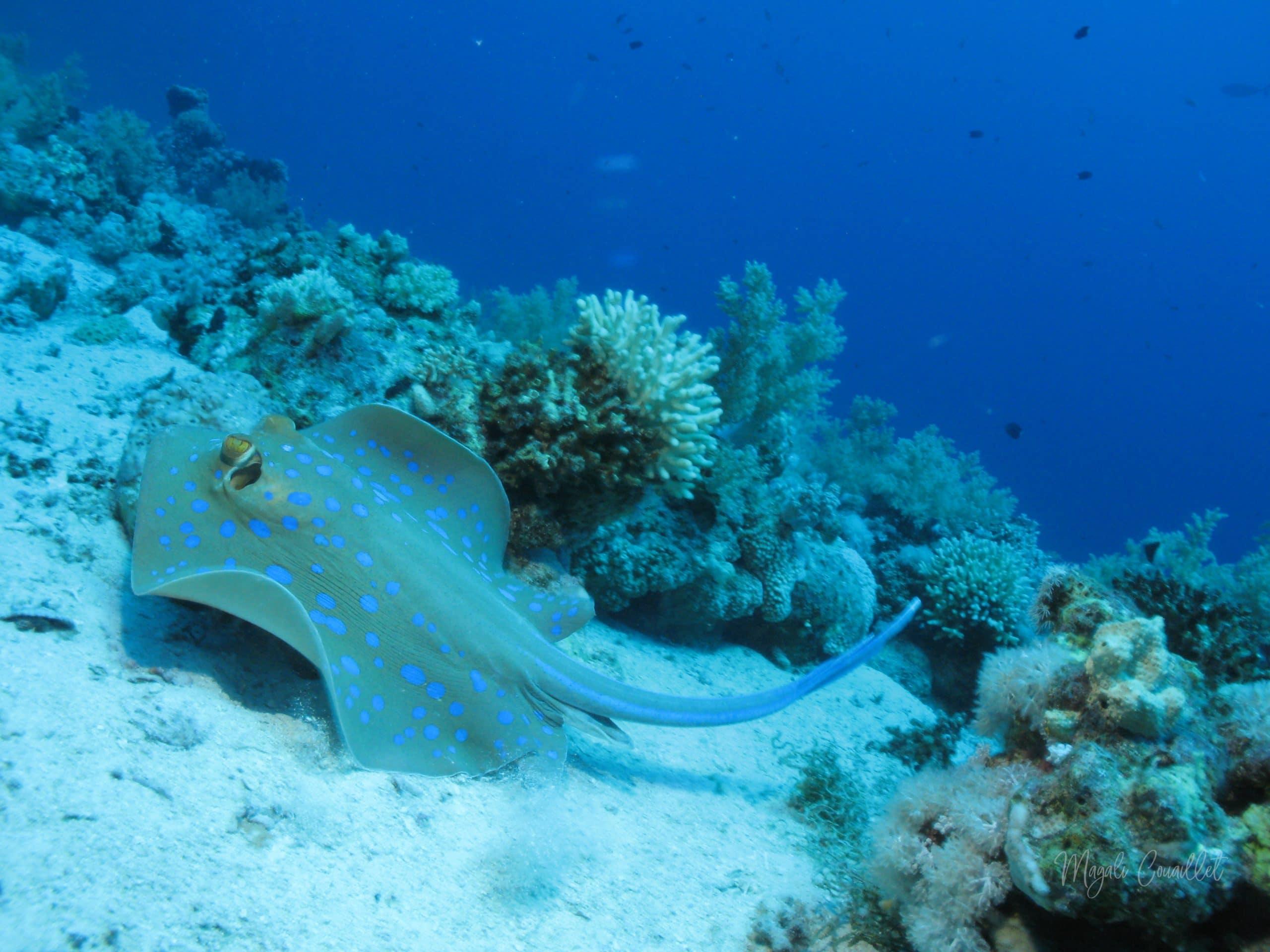 Raie pastenague à points bleus - Blue-spotted stingray