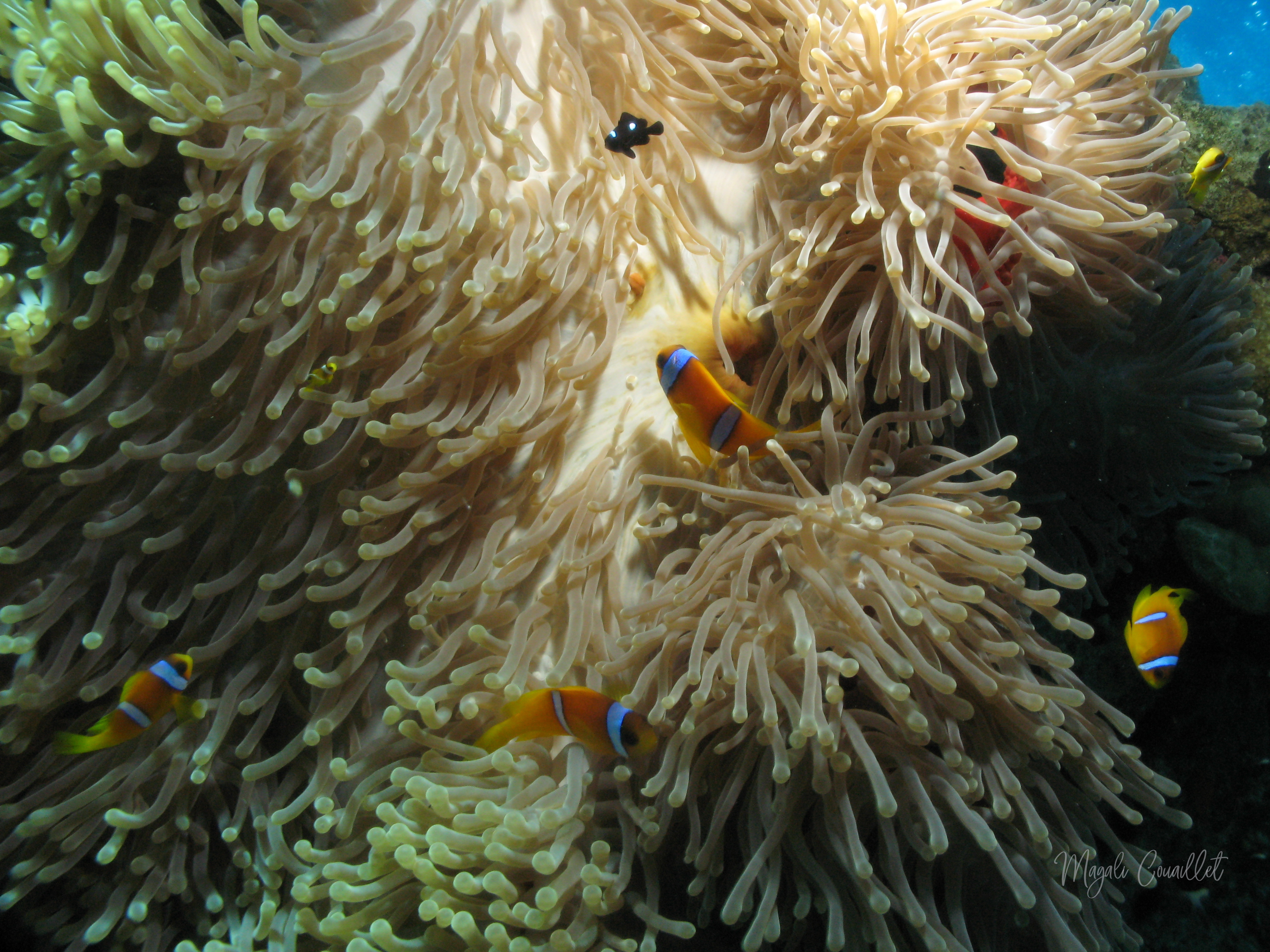 Anémone et poissons-clowns - Anemone and clownfishes