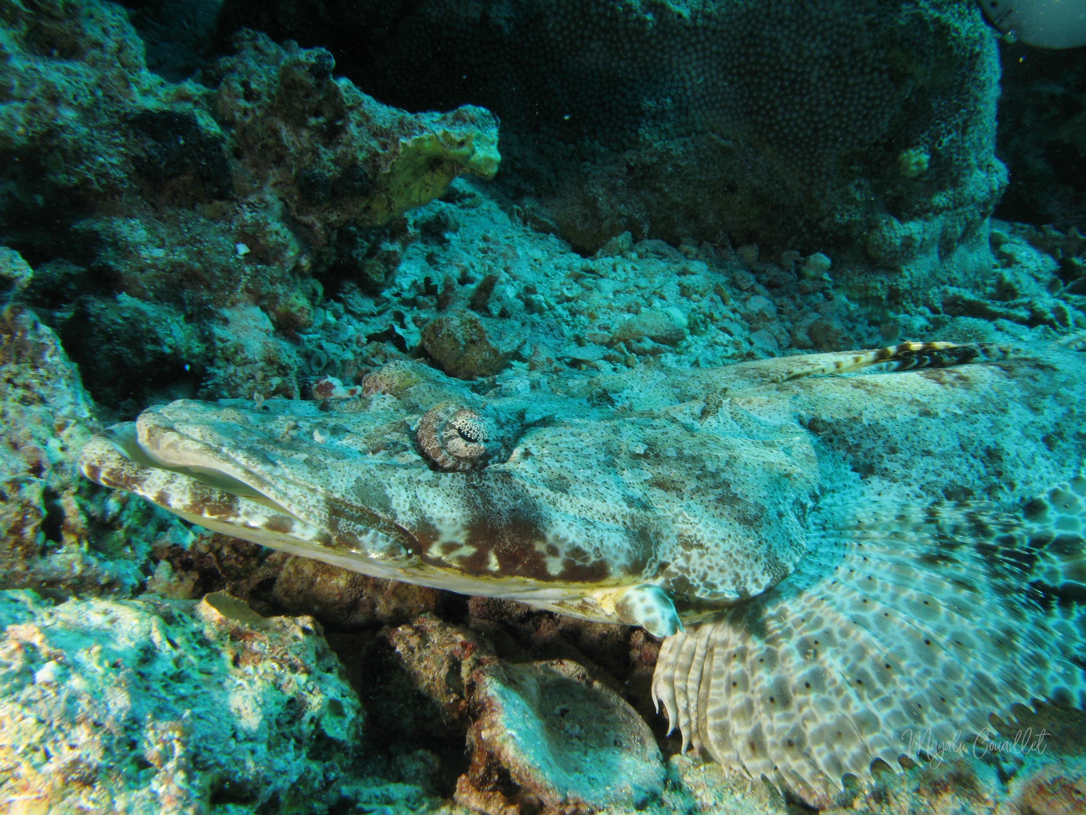 Poisson-crocodile - Crocodilefish
