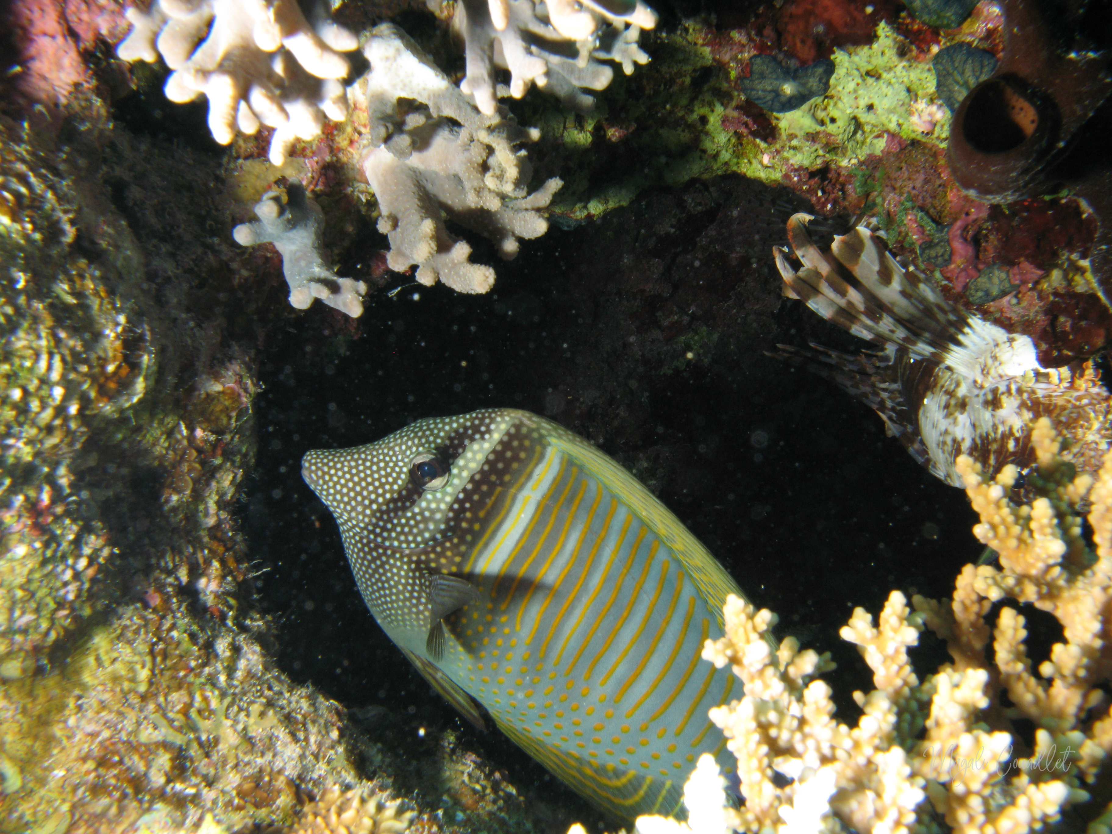 Chirurgien-voilier - Sailfintang