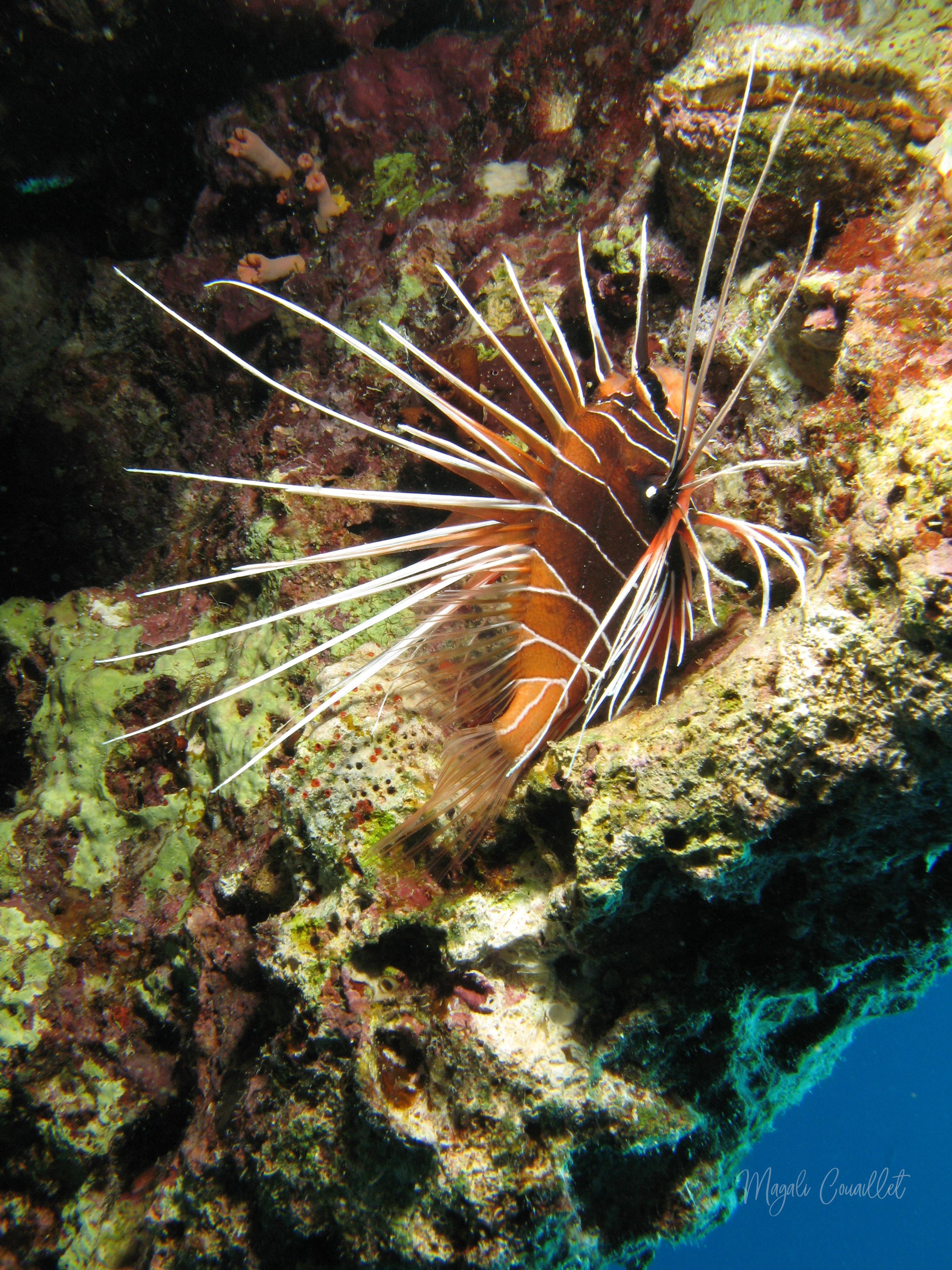 Poisson-scorpion rayonné - Lionfish