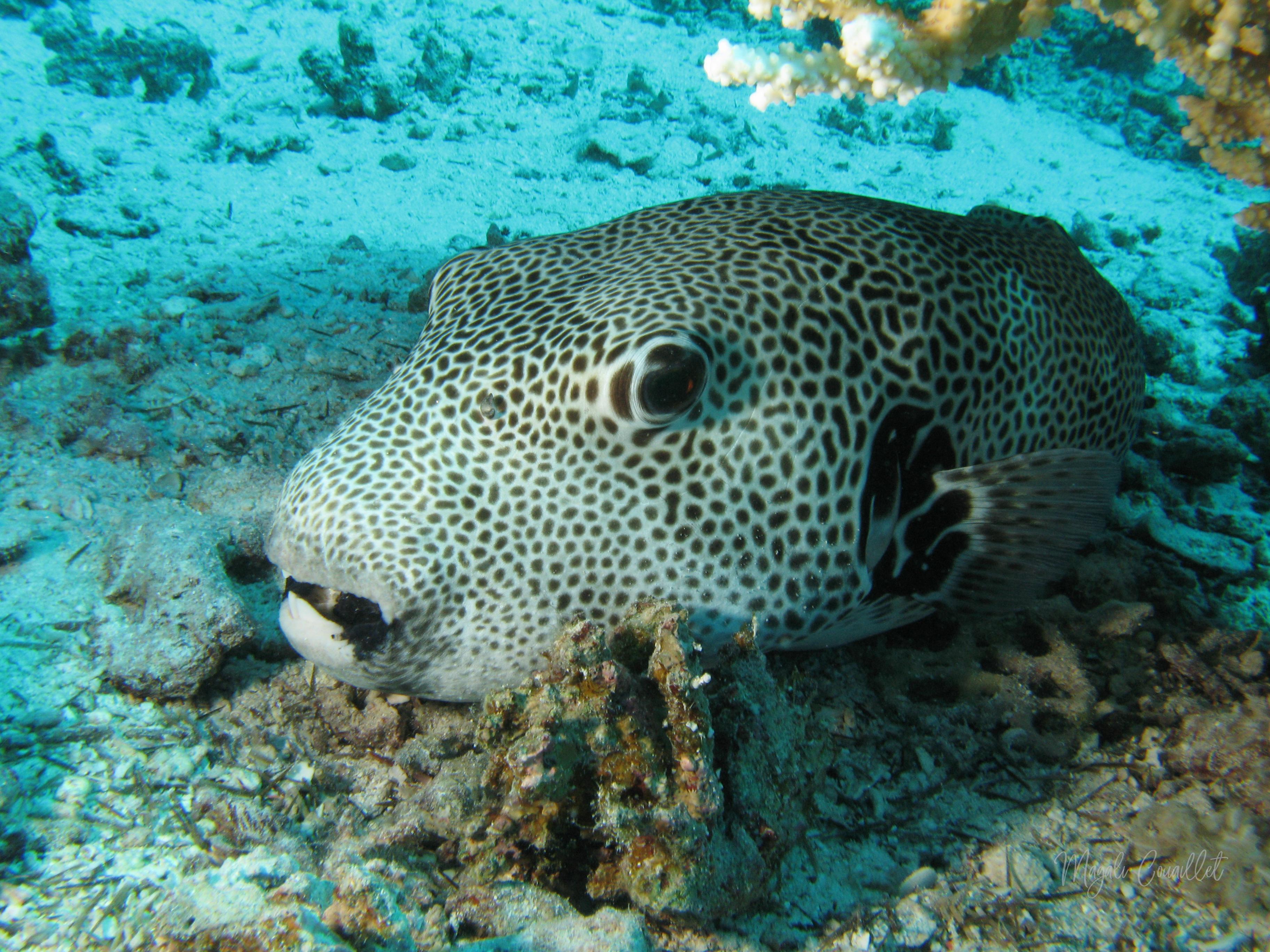 Poisson-ballon étoilé - Star Pufferfish