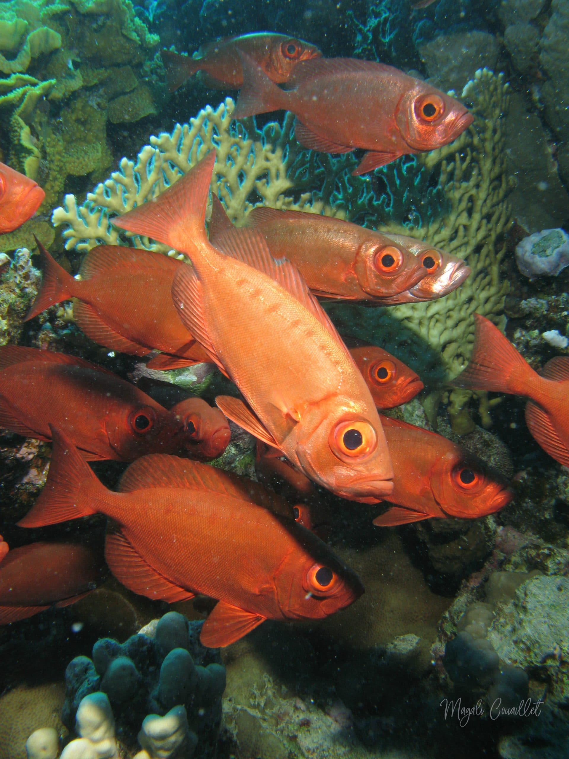 Poissons-soldats - Soldierfish