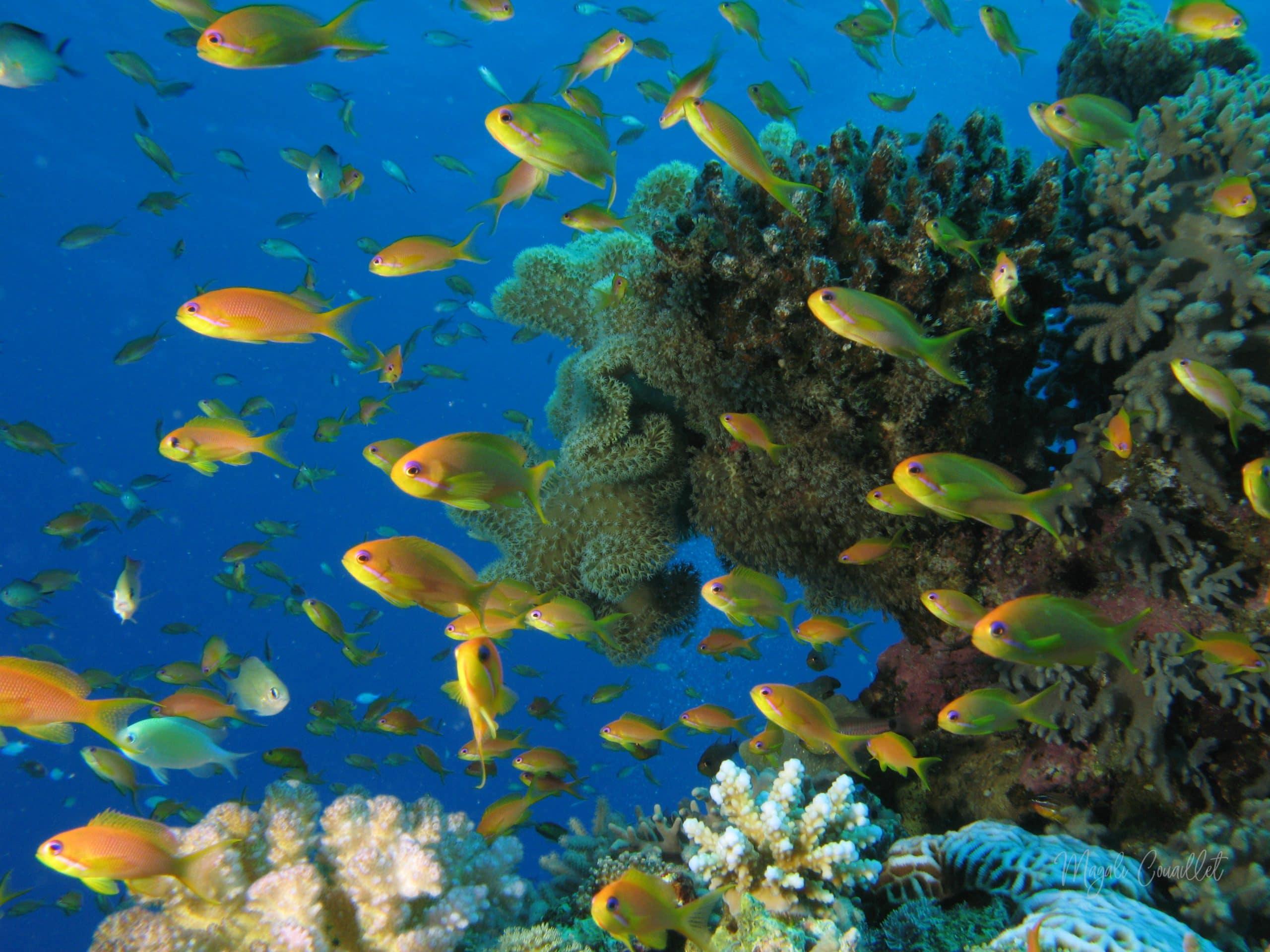 Poissons de récif corallien - Coral reef fishe