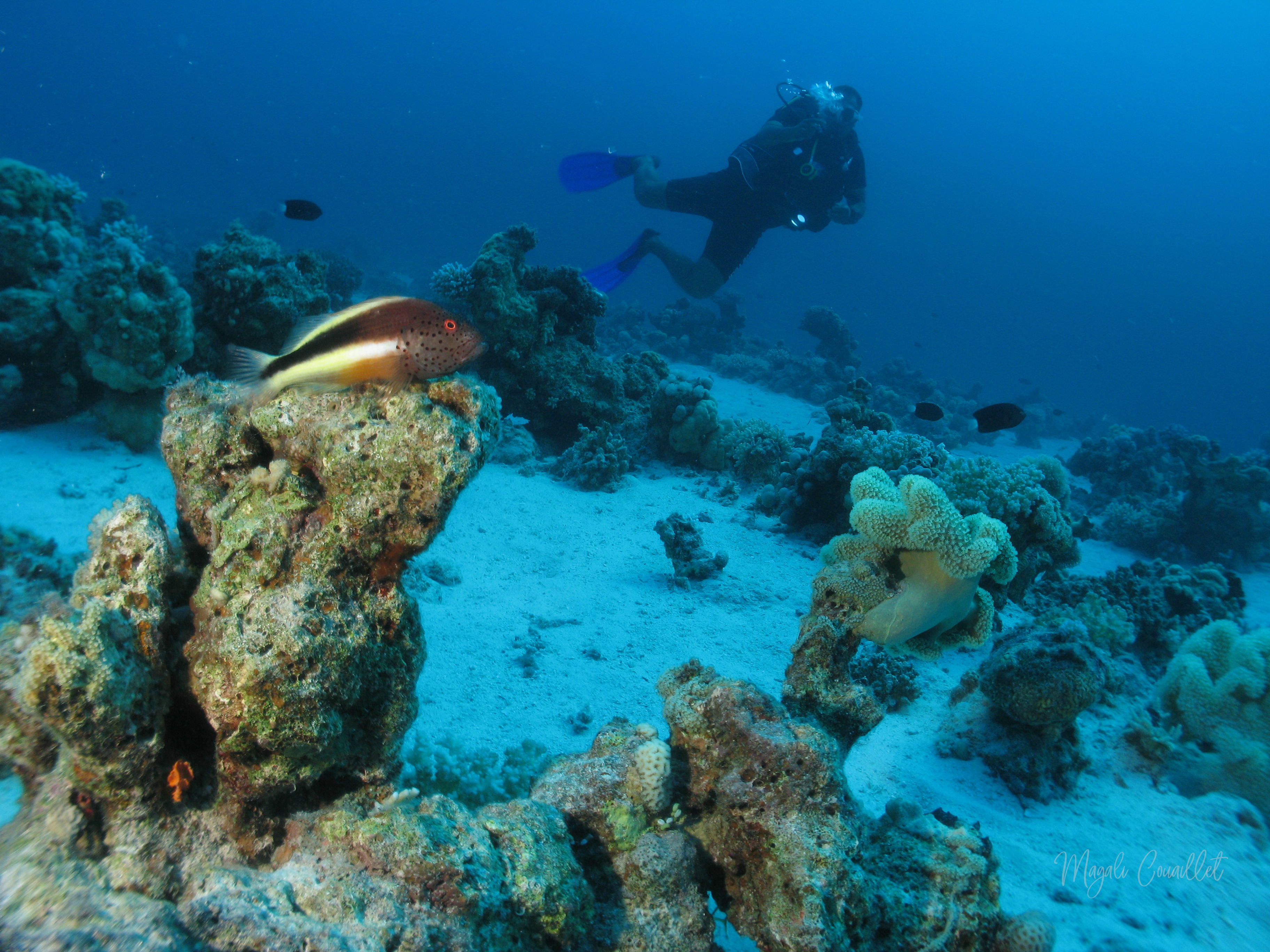 Poisson épervier - Hawk fish