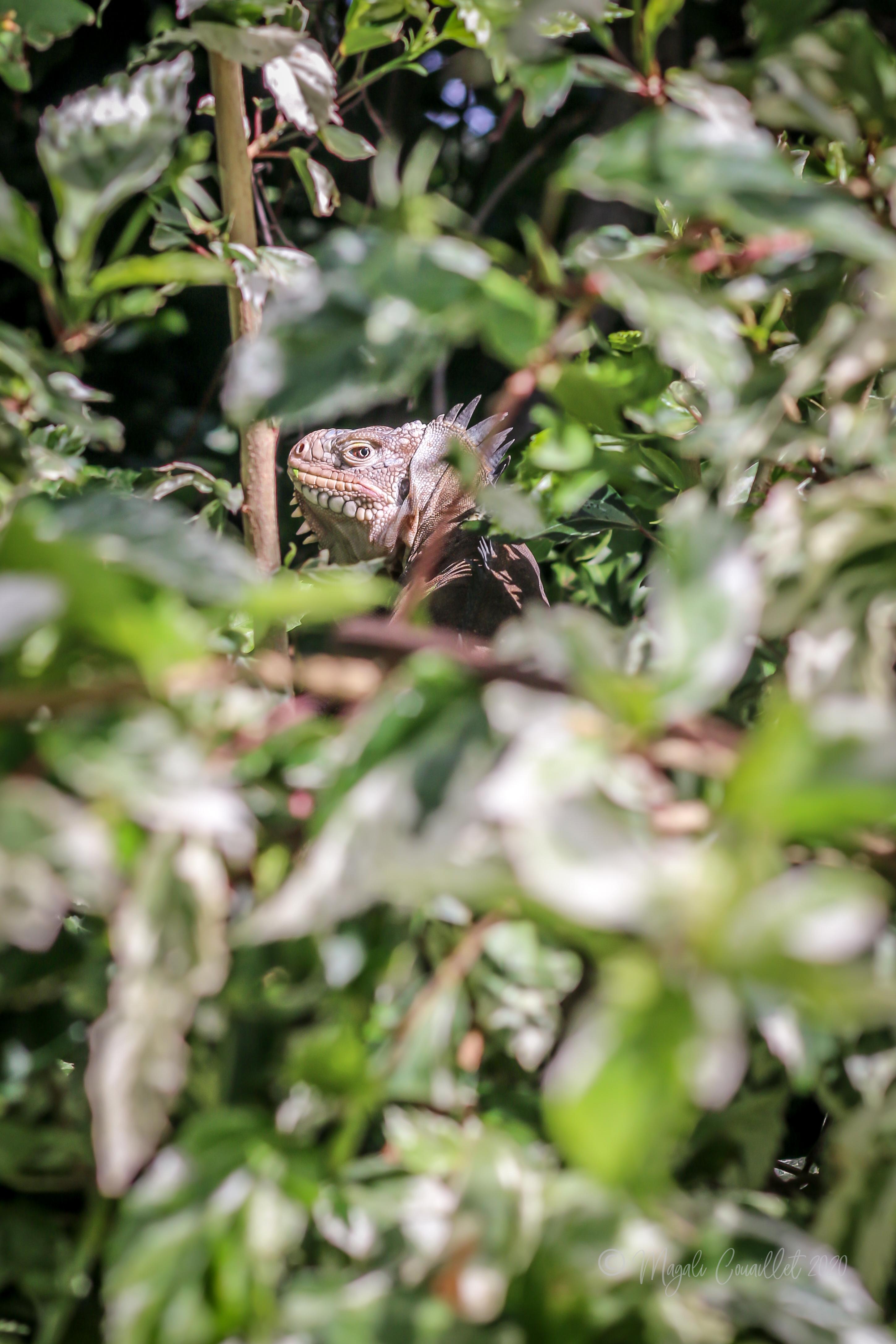 Iguana delicatissima